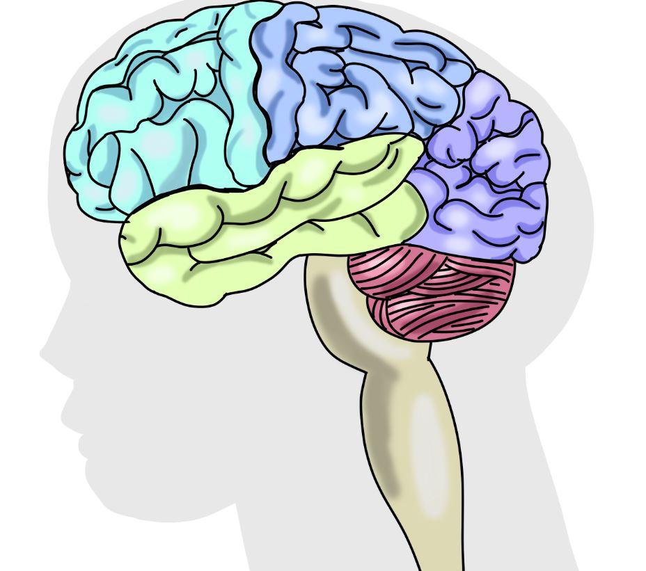 뇌 일러.JPG